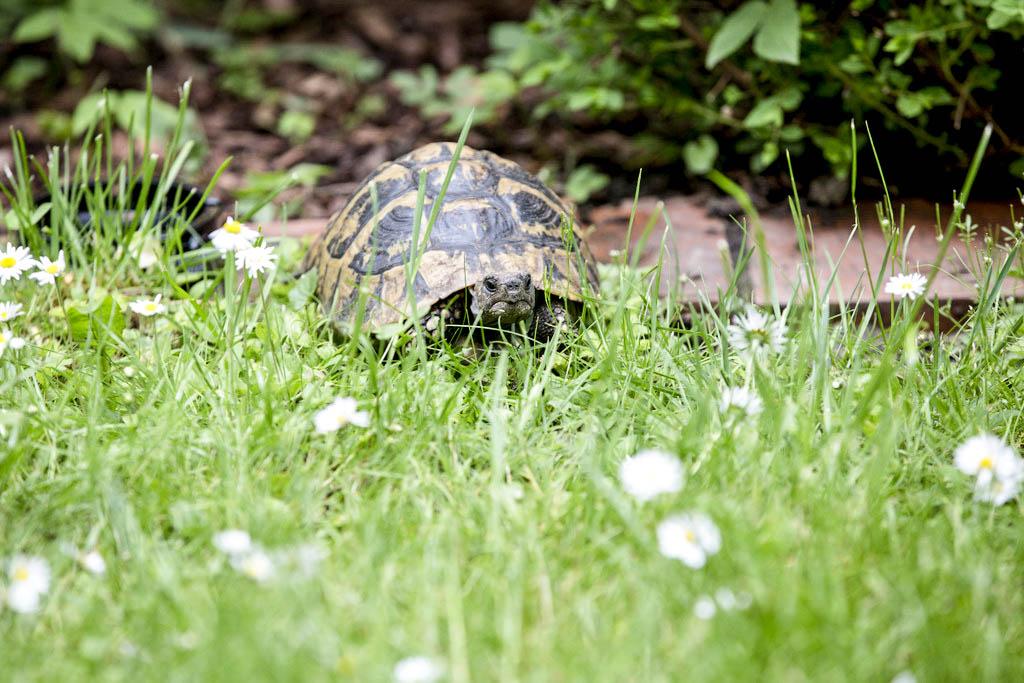 Schildkröte im Hotel Garten