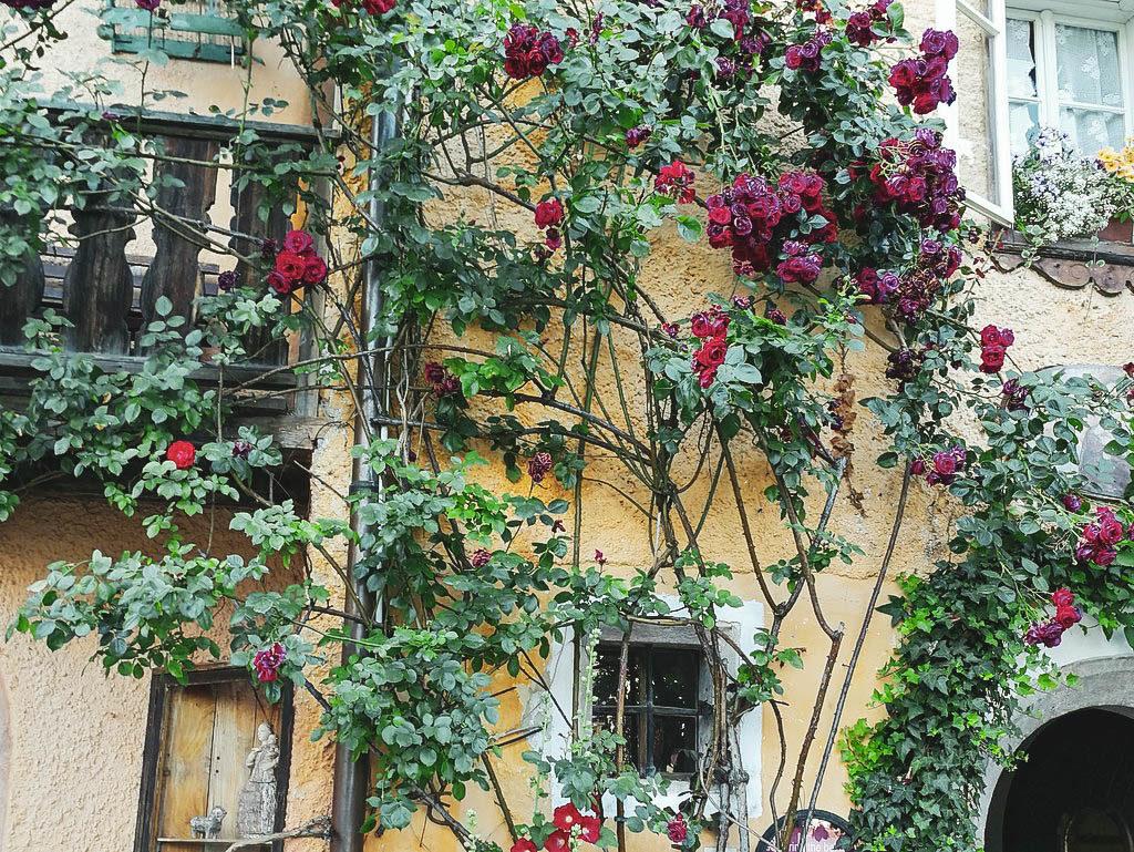 Rosen in Hallstatt