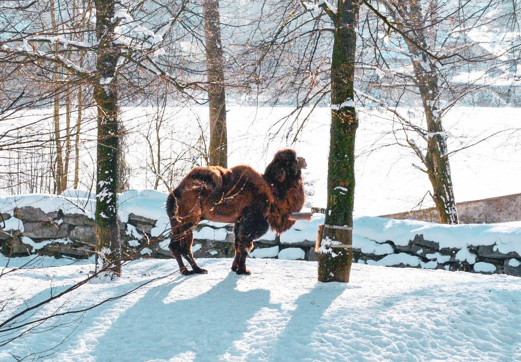 Kamel in Hellbrunn
