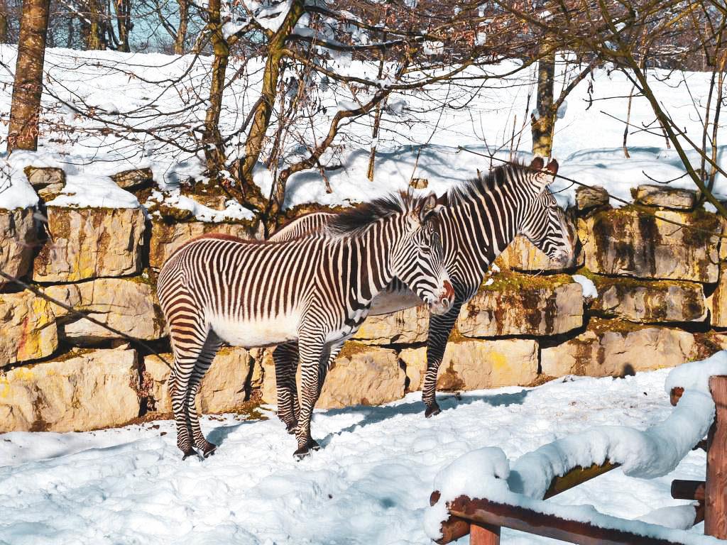 Zebras in Hellbrunn