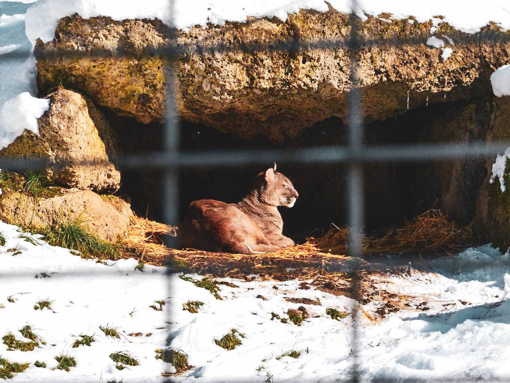 Wildkatze in Hellbrunn